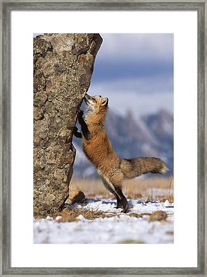 Red Fox Vulpes Vulpes Smelling Rock Framed Print by Konrad Wothe