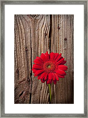 Red Gerbera Daisy With Wooden Wall Framed Print by Garry Gay
