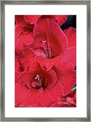 Red Gladiolus Framed Print by Susan Herber