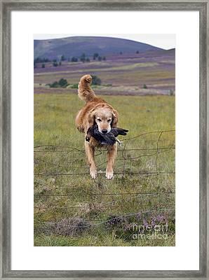 Red Grouse Retrieve - D007989 Framed Print by Daniel Dempster