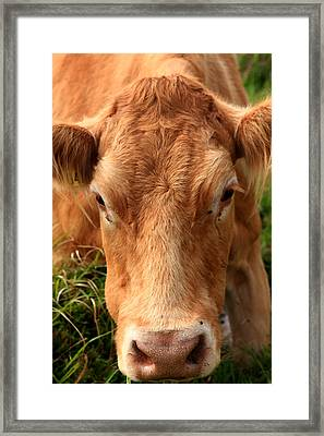 Brown Cow In Pasture Framed Print