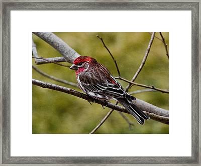 Red Head Black Tail Framed Print