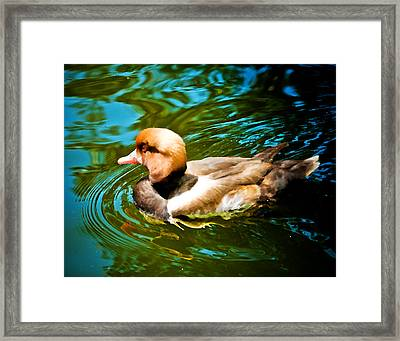 Red Head Duck Framed Print by Mickey Clausen