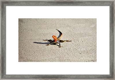 Red Headed Agama Lizard Framed Print