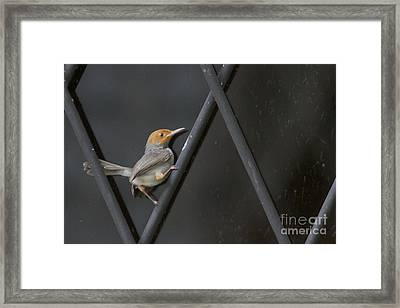 Framed Print featuring the photograph Red Headed Tailorbird. by Gary Bridger