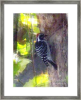 Red Headed Woodpecker Framed Print