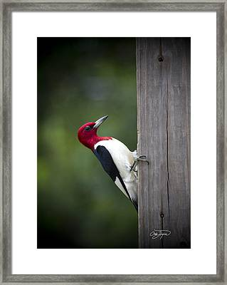 Red Headed Woodpecker Hdr - Artist Cris Hayes Framed Print