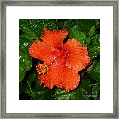 Framed Print featuring the photograph Red Hibiscus After The Rain by Renee Trenholm