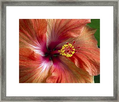 Red Hibiscus Framed Print by Catherine Booth-Smith