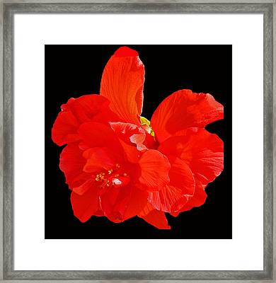 Framed Print featuring the photograph Red Hibiscus by Cindy Manero