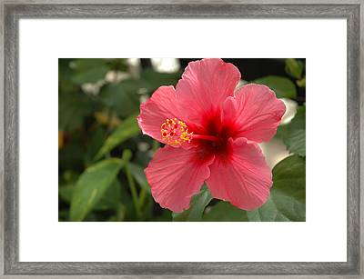 Red Hibiscus Framed Print by Jerry McElroy