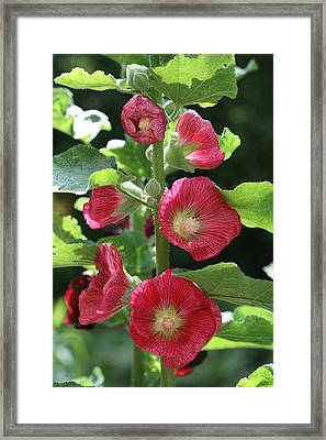 Framed Print featuring the photograph Red Hollyhocks by Peg Toliver