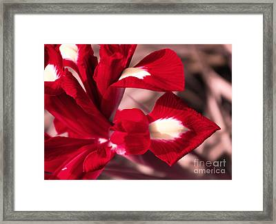 Red Iris Framed Print by AmaS Art