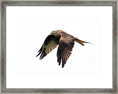 Red Kite In Flight Framed Print by Grant Glendinning Photography