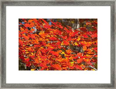 Red Leaves Framed Print by Charles  Ridgway
