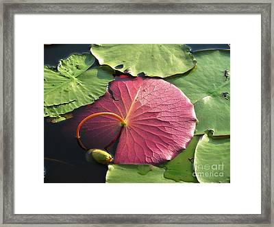 Red Lily Pad Framed Print
