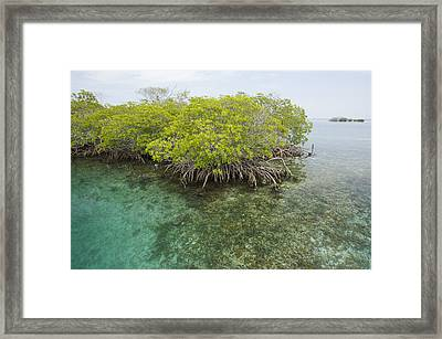 Red Mangrove Trees On An Offshore Framed Print