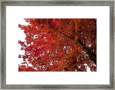 Red Maple Framed Print by Kamil Swiatek