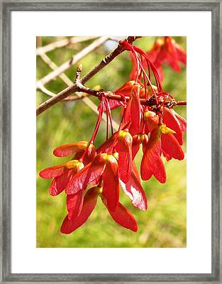 Red Maple Keys Framed Print by Debra Spinks