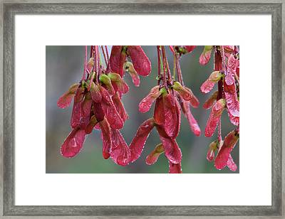 Red Maple Keys With Raindrops Framed Print