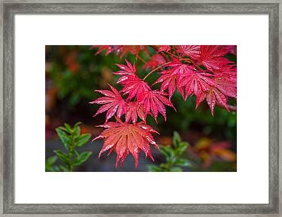 Red Maple Season Framed Print by Ken Stanback