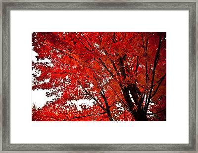 Red Maple Tree Framed Print by Kamil Swiatek