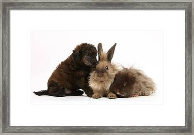 Red Merle Toy Poodle Pup, Guinea Pig Framed Print by Mark Taylor