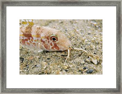 Red Mullet Fish Framed Print by Alexis Rosenfeld