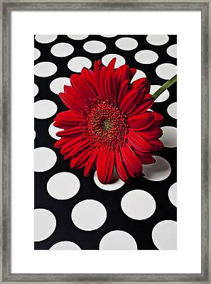 Red Mum With White Spots Framed Print by Garry Gay