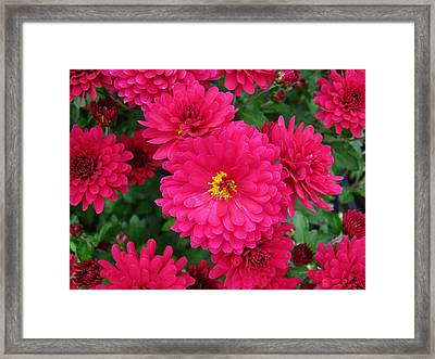 Red Mums Framed Print by Lucien Beauley