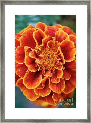 Red-orange Marigold Framed Print