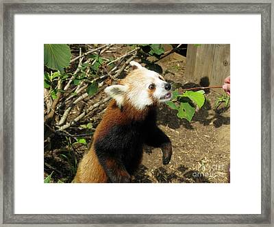 Red Panda Feeding Time Framed Print by Ausra Huntington nee Paulauskaite