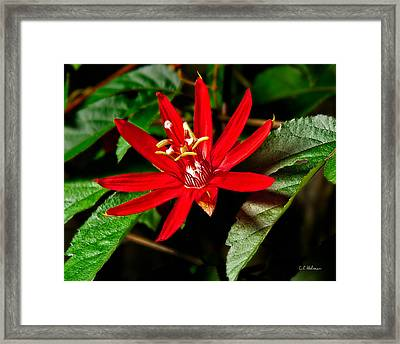 Red Passion Framed Print by Christopher Holmes