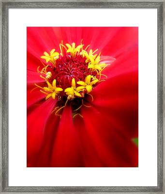 Red Passion Framed Print by Cindy Wright