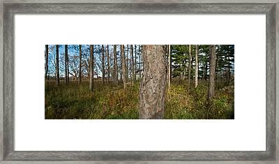 Red Pine Forest Framed Print