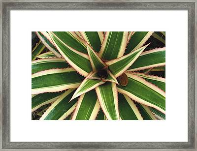 Red Pineapple Bromeliad Ananas Comosus Framed Print by Gerry Ellis