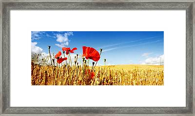 Red Poppies In Golden Wheat Field Framed Print by Catherine MacBride