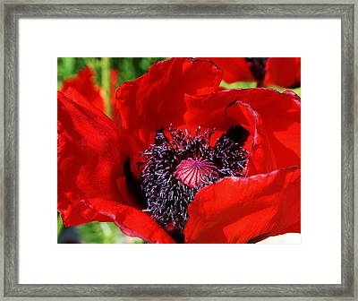 Red Poppy Close Up Framed Print