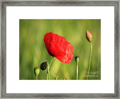 Red Poppy In Field Framed Print by Pixel Chimp