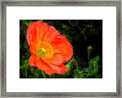 Red Poppy Framed Print by Natalya Shvetsky