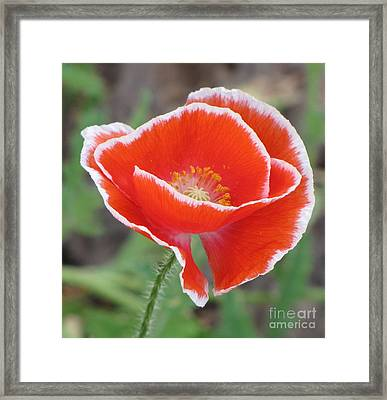 Framed Print featuring the photograph Red Poppy With White Rim by Michele Penner