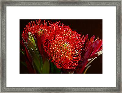 Red Protea Flower Framed Print by Michelle Armstrong