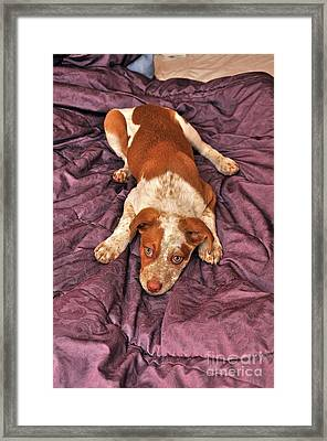 Red Puppy Framed Print by Phil Capadouca