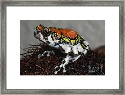 Red Rain Frog Framed Print by Dante Fenolio
