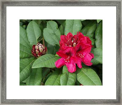 Red Rhododendron Blossom Framed Print by Larry Krussel
