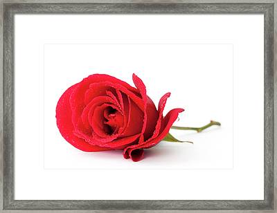 Red Rose Framed Print by Andrew Dernie