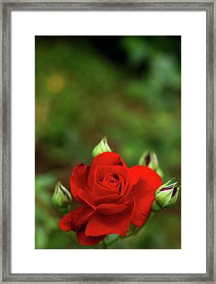 Red Rose Framed Print by Annfrau