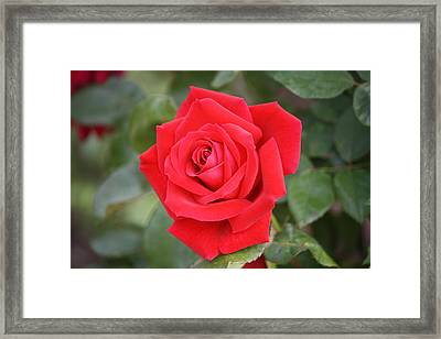 Framed Print featuring the photograph Red Rose by Donna  Smith