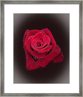 Red Rose II Framed Print by Jim Ziemer