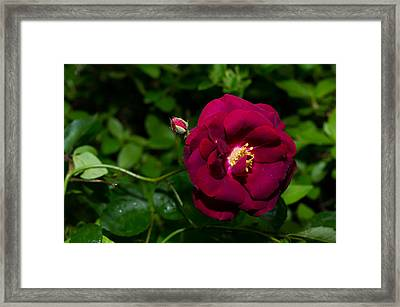 Red Rose In The Wild Framed Print